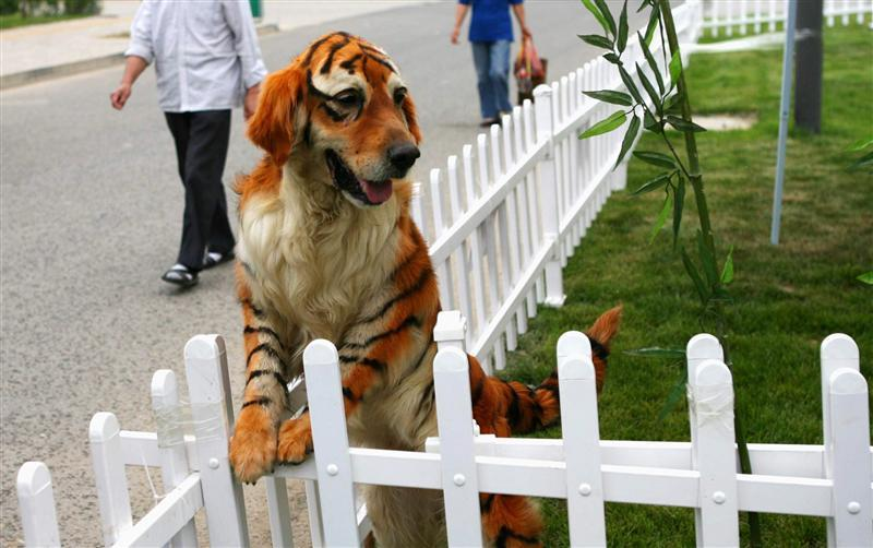 A golden retriever dog dyed to tiger-look play at the Dahe Pet Civilization Park in Zhengzhou